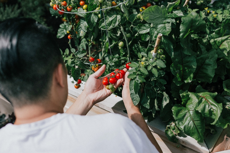 Growing tomatoes in an eco-friendly garden